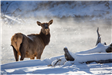A cow elk stands near a frozen river in winter
