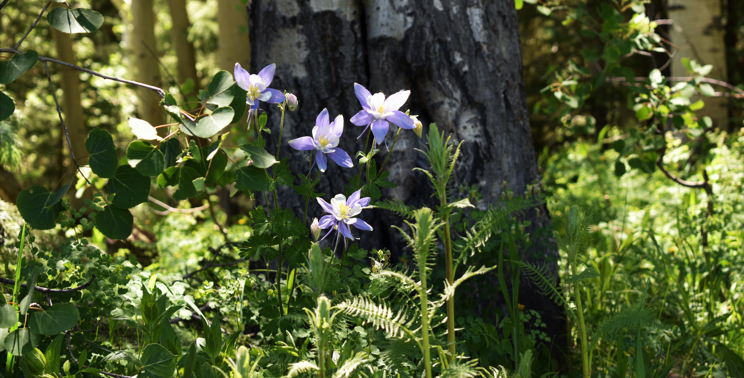 Columbines in the forest near Woods Lake