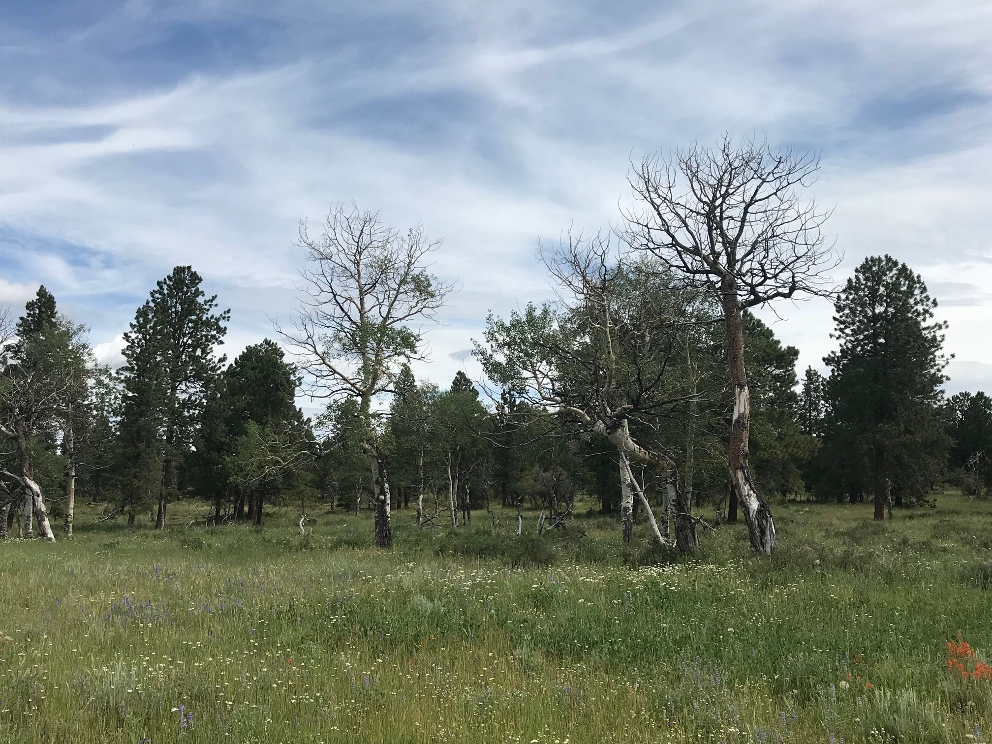 Old-growth aspens and ponderosa pine trees interspersed with wildflowers