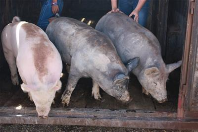 4-H dirty pigs at weigh-in