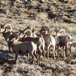Bighorn sheep in the West End